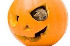 Abóbora de Dia das Bruxas com o interior do rato isolado no branco Fotografia de Stock