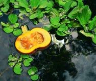 Abóbora de flutuação Imagem de Stock Royalty Free