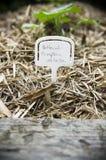 Abóbora do Butternut plantada em um jardim do quintal Imagem de Stock Royalty Free