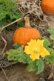 Abóbora e flor Imagens de Stock Royalty Free