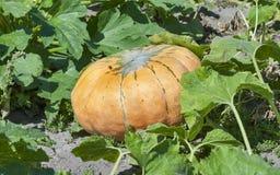 Abóbora grande no jardim Imagem de Stock Royalty Free