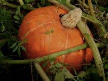 Abóbora madura grande em um jardim dos fazendeiros Foto de Stock