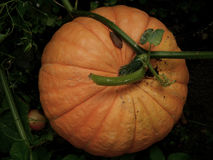 Abóbora madura grande em um jardim dos fazendeiros Fotografia de Stock