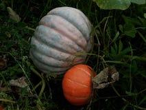 Abóbora madura grande em um jardim dos fazendeiros Fotos de Stock