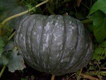 Abóbora madura grande em um jardim dos fazendeiros Foto de Stock Royalty Free