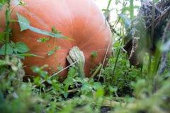 Abóbora no jardim Fotografia de Stock