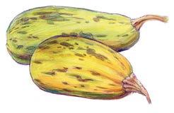 Abóbora ou abobrinha maduro longo no fundo branco - desenho de lápis colorido Imagem de Stock