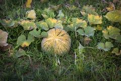 Abóbora, a planta da família à terra que produz a abóbora imagens de stock