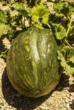 Abóbora que cresce no jardim. Fotografia de Stock Royalty Free