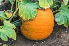 Abóbora redonda fresca que encontra-se no lado ao meio do campo de exploração agrícola coberto perto Foto de Stock