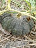 Abóbora verde fotografia de stock