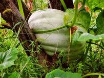 Abóbora verde no jardim orgânico imagem de stock royalty free