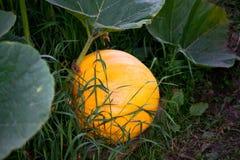 Abóboras alaranjadas grandes que crescem no jardim Abóbora que cresce em um jardim que espera para transformar-se uma lanterna do fotografia de stock