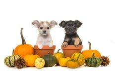 Abóboras e dois potenciômetros de flor com os dois cães de cachorrinho da chihuahua Fotografia de Stock