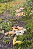 Abóboras em um campo Fotografia de Stock