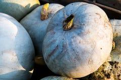 Abóboras grandes azuis Fotos de Stock