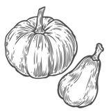 Abóboras Mão orgânica natural o esboço tirado do vetor gravou a ilustração Vegetal do outono, baga isolada no fundo branco Fotos de Stock