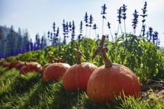 Abóboras na grama em um remendo da abóbora Foto de Stock