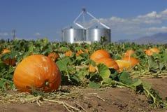 Abóboras prontas para a colheita Imagem de Stock