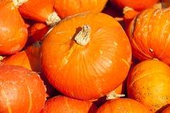 Abóboras vermelhas da abóbora do cucurbita do Hokkaido de roter do outono Foto de Stock
