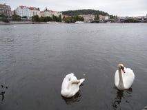 ?ab?d? Jezioro Praga WATERThe zamknięta rodzina i łabędź zawieramy gąski i kaczki fotografia royalty free