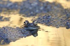 Żab gałek ocznych refelction obraz stock