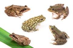 żab odosobniony kumaka biel Zdjęcia Stock