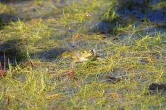 Żaba śpiew Fotografia Stock