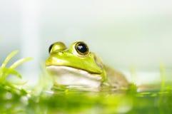 żaba Obrazy Royalty Free