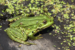 żaba Obrazy Stock