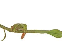 żaba Fotografia Stock