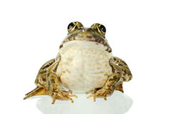 żaba Zdjęcia Royalty Free