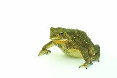 żaba b Zdjęcia Royalty Free