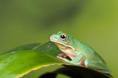 żaba biel drzewny Zdjęcia Royalty Free
