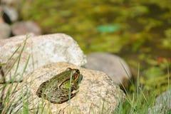 Żaba blisko wody Obrazy Royalty Free
