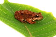 żaba brown zdjęcie stock