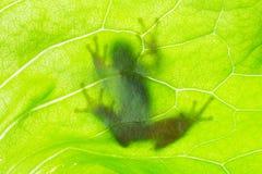 Żaba cień na liściu Obraz Royalty Free