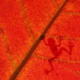 Żaba cień na czerwonym liściu Obrazy Royalty Free