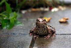 żaba deszcz Lato deszcz w ogródzie Żaba siedzi Fotografia Royalty Free