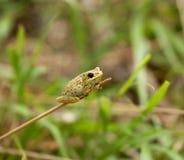 żaba Kenya Obrazy Royalty Free