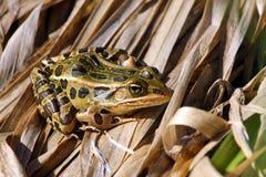 żaba lampart Fotografia Stock