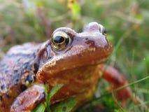 żaba makro Zdjęcia Stock