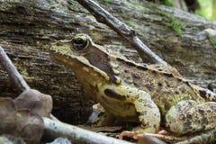 Żaba makro- obrazek na jesień dniu Fotografia Royalty Free