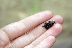 żaba malutka Obraz Royalty Free