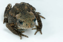 Żaba na bielu Obraz Stock