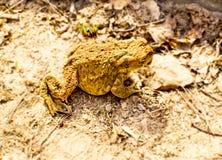 Żaba na brown trawie Obrazy Stock