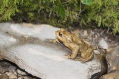 Żaba na kamieniu w rzece Obrazy Royalty Free