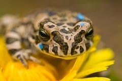 Żaba na kwiacie Obrazy Royalty Free
