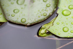 Żaba na leluja ochraniaczu obrazy stock