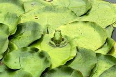 Żaba na leluja ochraniaczu zdjęcie royalty free